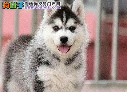 出售多种颜色武汉纯种哈士奇幼犬金牌店铺有保障