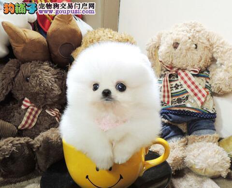 银川热卖毛线球般的迷人博美幼犬 可爱乖巧活泼美丽