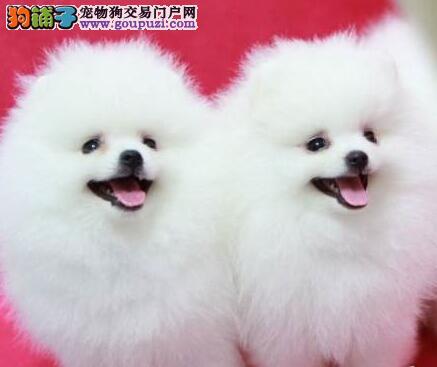转让极品优秀哈多利版博美犬 济南市内可免费送狗