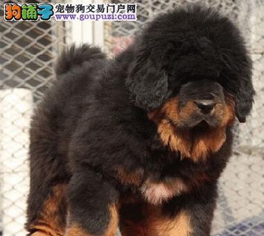 低价出售纯种狮王血系藏獒 南昌附近地区可免费包邮