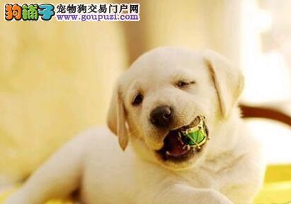 顶级优秀聪明南昌拉布拉多犬低价出售 专业犬舍繁殖