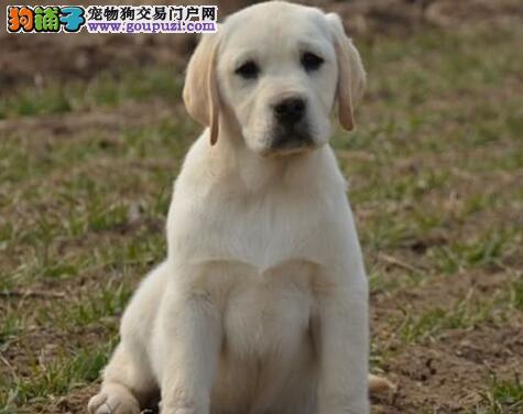 健康的拉布拉多导盲犬榆林开卖啦 小七同款 完美售后