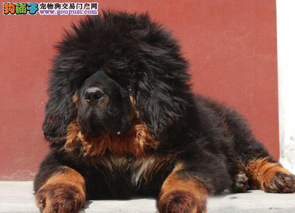 出售高品质藏獒幼犬哈尔滨地区有实体犬舍有防疫证明