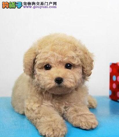 专业正规犬舍热卖优秀泰迪犬喜欢它的快来