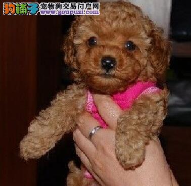 自家繁殖纯种贵宾犬武汉市区内购犬可送狗粮