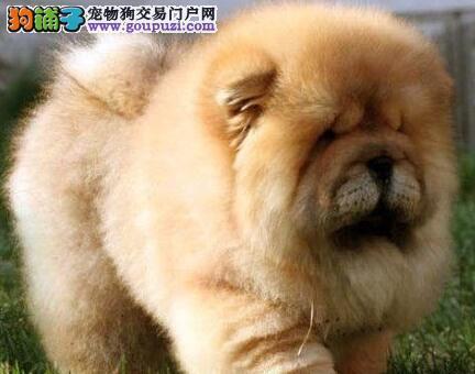 基地直销好品质郑州松狮犬纯美系血统售后保障全面