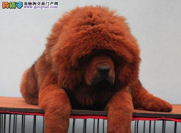 杭州狮子头菊花尾霸气藏獒幼犬出售