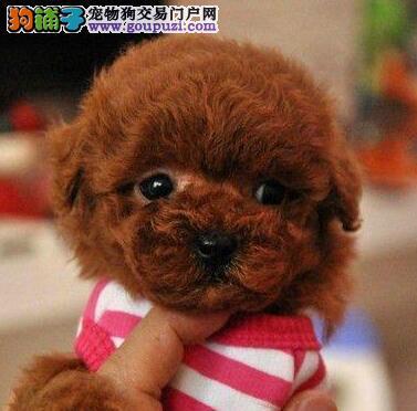 特价出售韩系成都泰迪犬 有品质保证有证书国外引进
