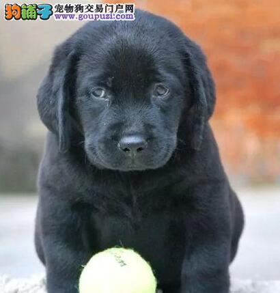 三亚正规狗场犬舍直销拉布拉多幼犬保证冠军级血统