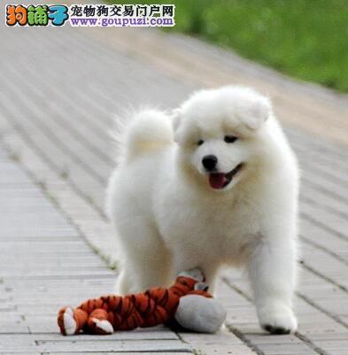 海口犬舍直销顶级品质萨摩耶公母都有协议购买
