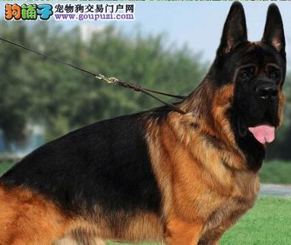 出售杭州德国牧羊犬 可来当面挑选 欢迎咨询详情