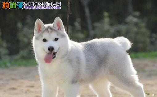 泉州繁殖基地直销三把火哈士奇幼犬 赛级双血统双蓝眼