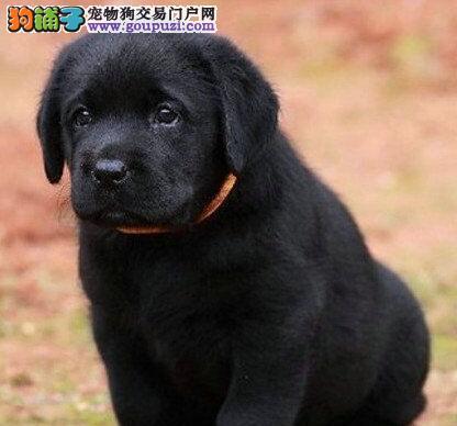 基地直销纯种深圳拉布拉多犬品相好保健康