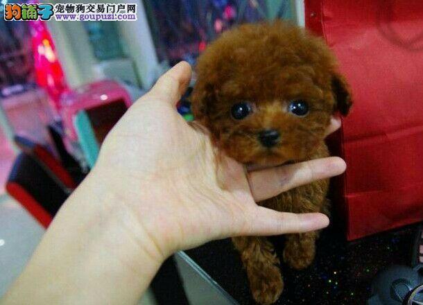 广州哪里有卖茶杯泰迪熊纯种茶杯狗玩具熊极品贵宾
