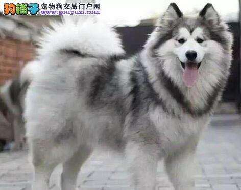 正规犬舍直销双十字渝中阿拉斯加雪橇犬 已做疫苗