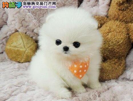 济南顶级优秀犬舍预售纯种博美犬 哈多利版保证漂亮