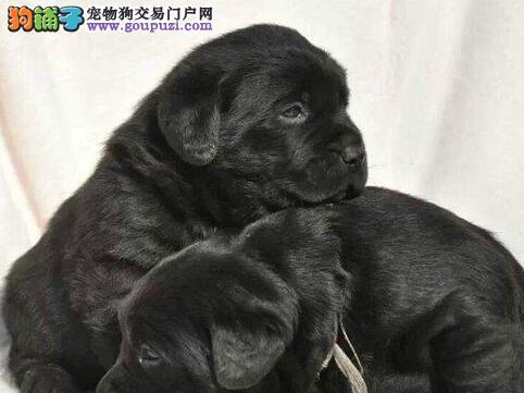 热销纯种拉登血系拉布拉多犬 青岛专业犬舍专业繁殖