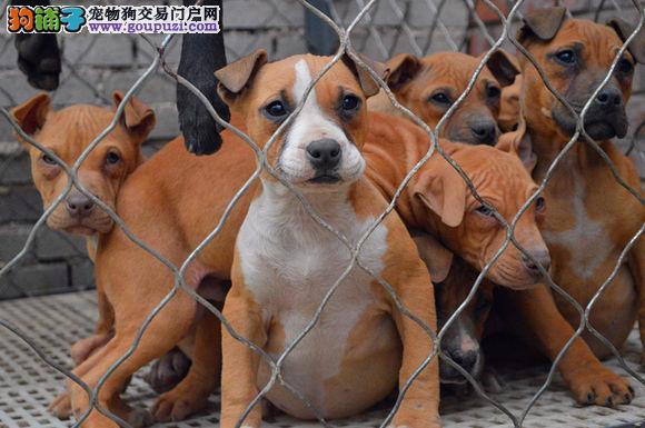 100%纯种健康的合肥比特犬出售全国质保全国送货