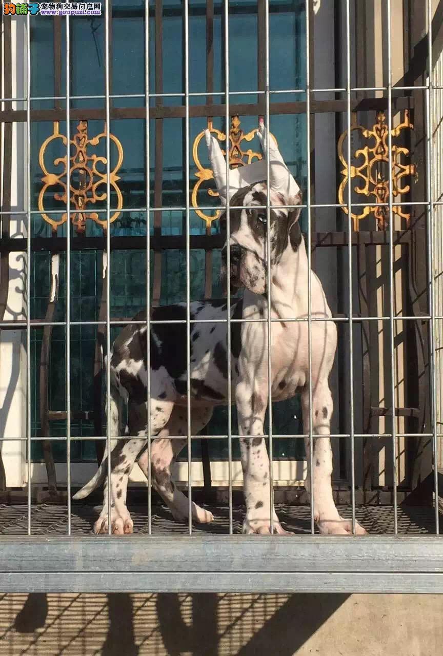 大丹犬太原CKU认证犬舍自繁自销可以送货上门