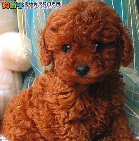 超低价出售赛级正宗大毛量高产量红泰迪小狗机会不等人