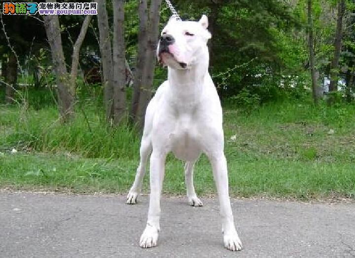 热销多只优秀的纯种郑州杜高犬国际血统认证