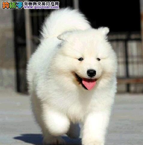 珠海知名犬业直销雪白色的萨摩耶幼犬 保证品质和血统