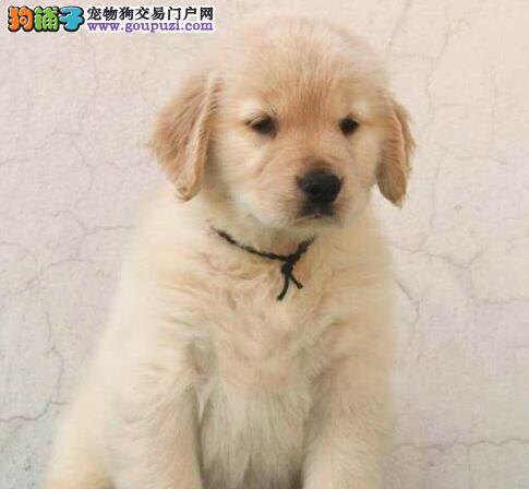 出售大骨架金毛犬 可见父母青岛家庭专业繁殖