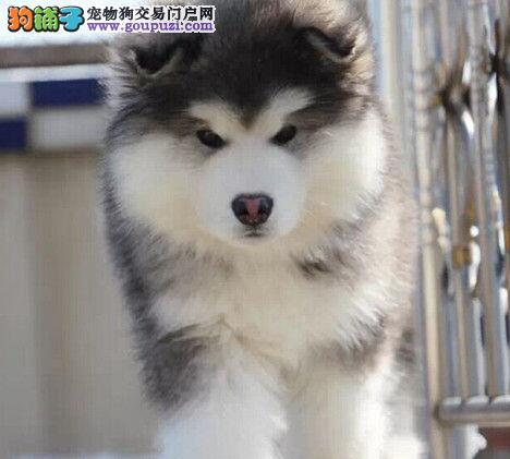 家养极品武汉阿拉斯加雪橇犬促销中高品质售后有保障