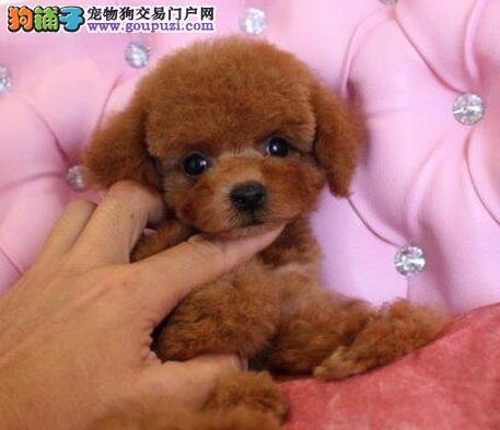 成都正规犬舍出售优秀贵宾犬 三个月包退换可视频