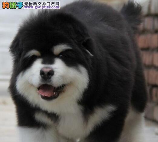 优惠特卖顶级郑州阿拉斯加犬 带证书质保出售