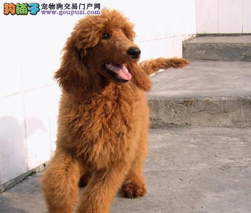 可爱至极茶杯血系的金山贵宾犬找爸爸妈妈 非诚勿扰