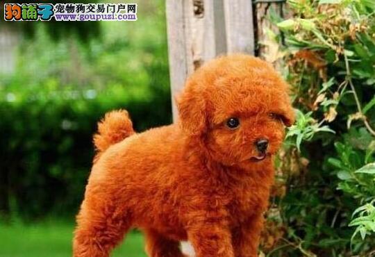 金山贵宾犬哪里有卖的 纯种贵宾犬出售