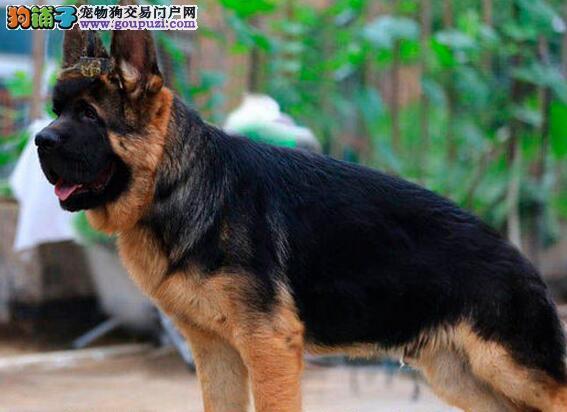 出售锤系血统的石家庄德国牧羊犬 大家上门选购看狗