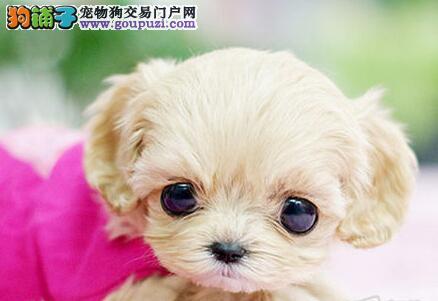 出售多只优秀泰迪犬 郑州附近地区可上门选择购买
