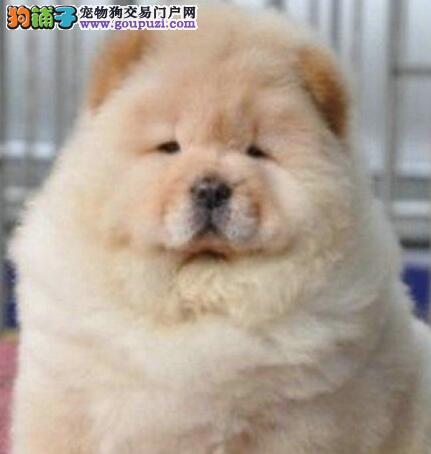 特价出售大嘴紫舌郑州松狮犬 外地可带办空运可视频