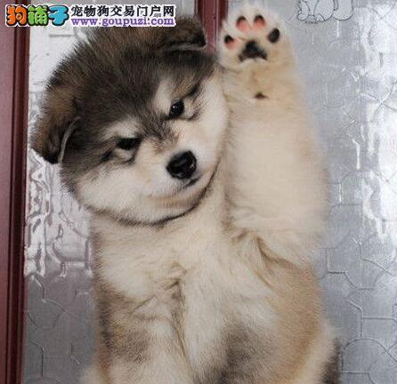 极品双十字渝中阿拉斯加雪橇犬出售 可办理证书
