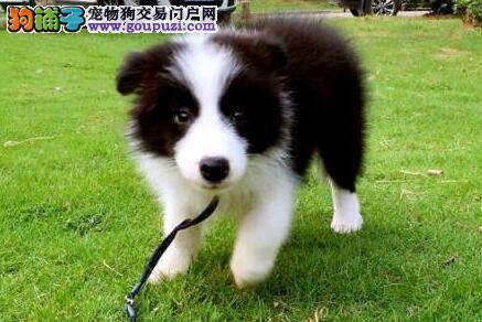 石家庄正规犬舍出售易训练的边境牧羊犬 多种颜色供选