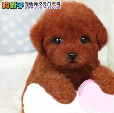 保证纯血统高品质的朝阳贵宾犬低价出售 数量有限