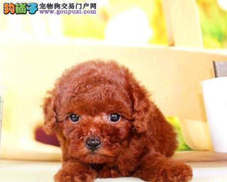 出售多种血系的石家庄泰迪犬 希望好心人士上门选购