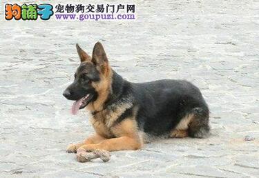 济南繁殖基地出售锤系德国牧羊犬 可随时上门选购爱犬