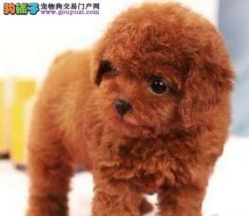 哪里有卖贵宾犬的 贵宾犬多少钱一只
