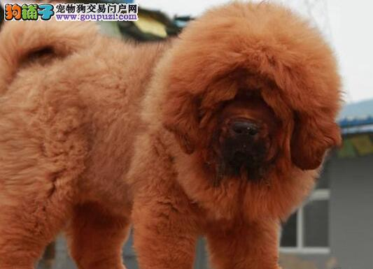 犬业出售犬中之王藏獒广州佛山可送货