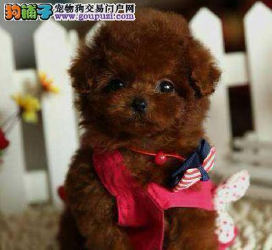 大毛量品相佳的南宁泰迪犬找新家 人见人爱花见花开