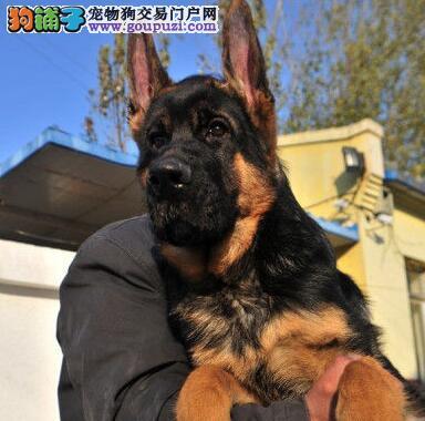 济南犬舍热卖赛级品质德国牧羊犬质量保证
