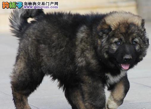 福州正规犬舍直销出售大骨架高加索犬 已做好进口驱虫