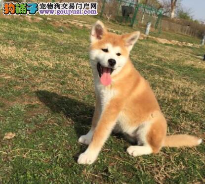 狗场出售顶级秋田犬青岛市区购犬可办理血统证书