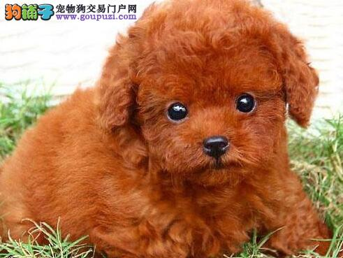 多种颜色的巨型贵宾犬火爆热销中 广州市内可免费送货