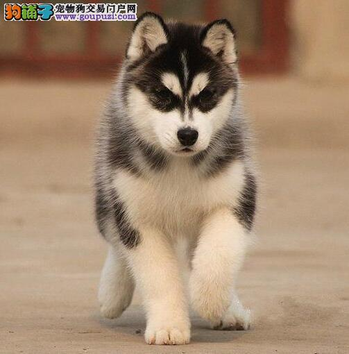 合肥正规犬舍出售三把火哈士奇幼犬 赛级品质双血统