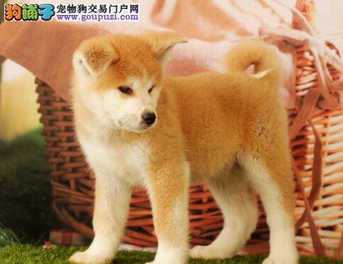 毛色纯正合肥自家繁殖的秋田犬优惠出售中 狗贩子勿扰