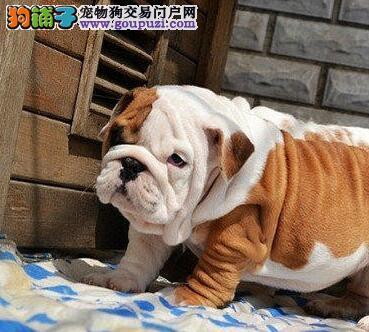 热卖可爱斗牛犬 公母都有可办理证书欢迎来上海购买